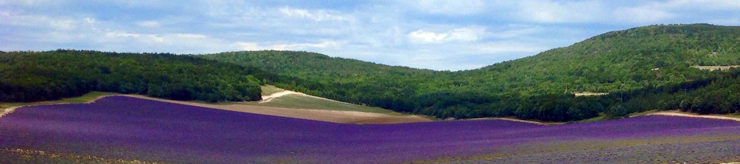 Lavender field, between the Provence and the Verdon